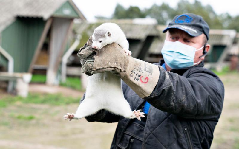 Denmark bans mink breeding