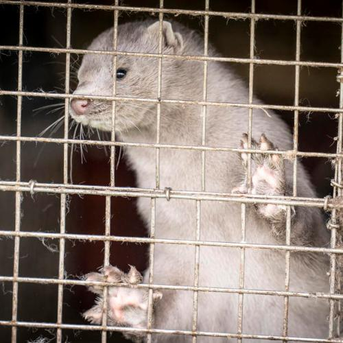 Poland finds COVID-19 cases among mink farm workers