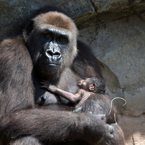Going ape: Week-old gorilla breaks hearts at Spanish zoo