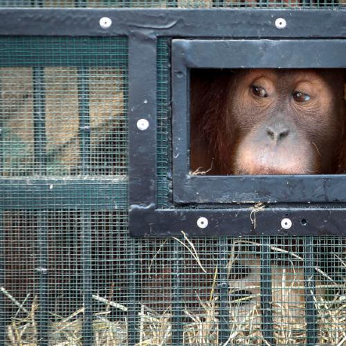 Smuggled orangutans start new life after repatriation to Indonesia