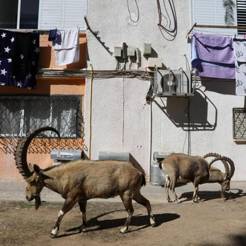 Photo Story: Wild animals take over the streets during Israeli lockdown