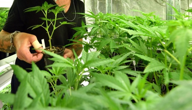 Ewropej: Human rights approach needed regarding cannabis legislation
