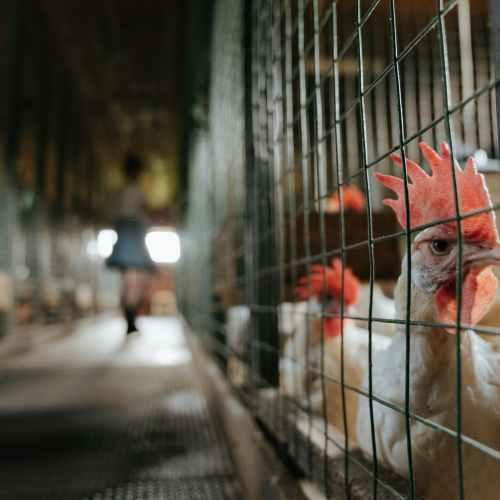 EU lawmakers seek ban on caged farming, foie gras force-feeding