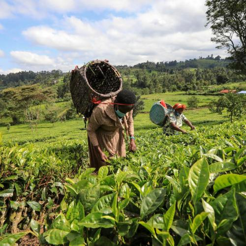 Photo Story – Kenya's tea industry recovering from COVID-19 pandemic