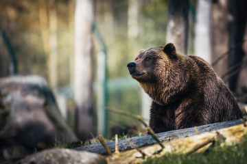 Romania lets towns shoot encroaching bears, angering green groups