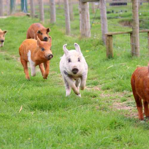 Germany has first African swine fever case in farm pigs