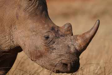 South Africa rhino poaching returns after pandemic-induced lull