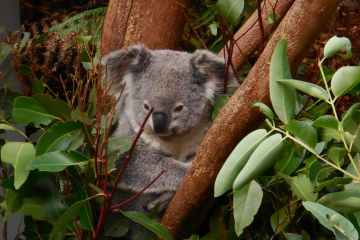 Australia has lost one-third of its koalas in the past three years
