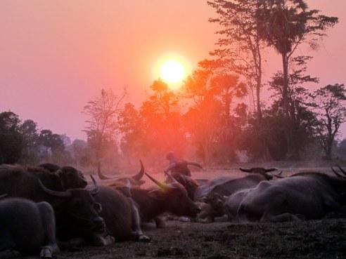 Water buffalo under sunset, Southern Laos