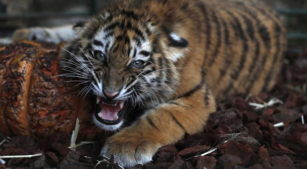 Tiger Cubs Destined For Syrian Zoo Rescued In Lebanon