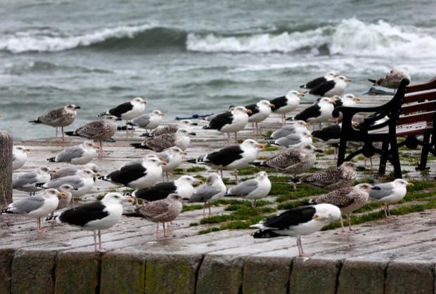 Seaguls hunker down on the pier at Bullock Harbour as the bad weather makes its way over the East of the Country.Picture Credit:Frank McGrath9/11/18
