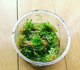 水草キューバパールグラス