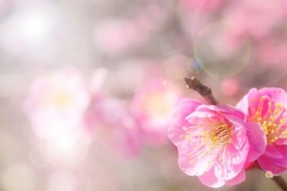 七五三の参拝神社に咲く梅の花