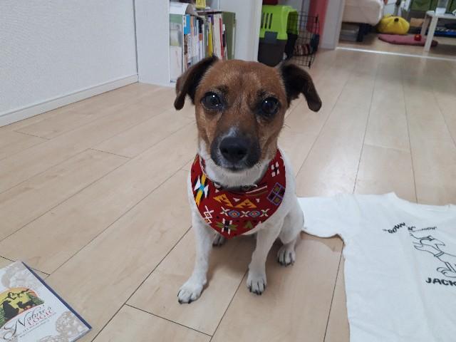元保護犬 写真 ジャックラッセルテリア