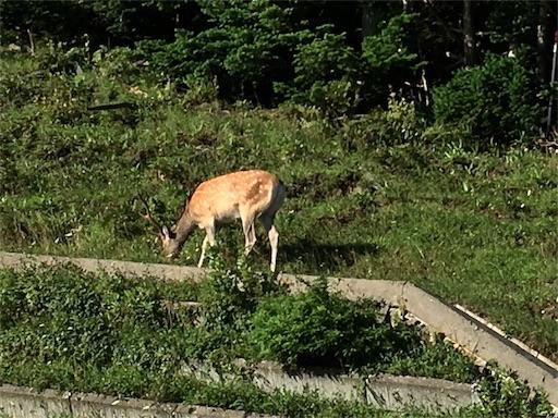 知床五湖の帰り道。野生のオス鹿です