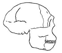 Skull profile of Peking man