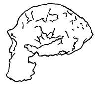Skull profile of erectus