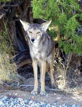 Coyote Kids Answers