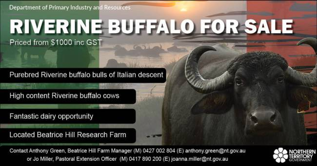 Riverine Buffalo for sale - priced from $1000 inc G S T call Anthony Green 0427 002 804