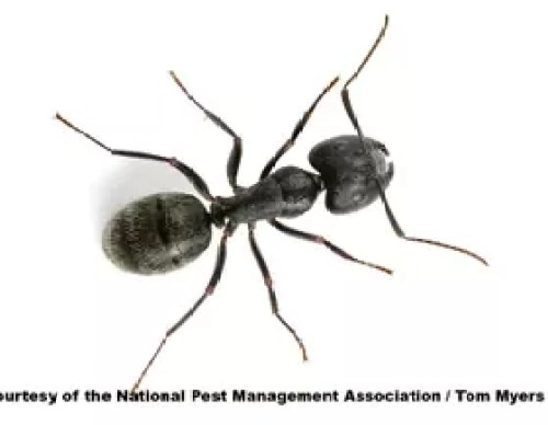 Photo Of A Carpenter Ant