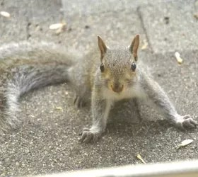 How Do You Get Rid Of Squirrels In Your Home Hometalk