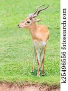 Thomson S Gazelle Gazella Thomsoni Serengeti National Park Tanzania Stock Photos and Images. 116 ...