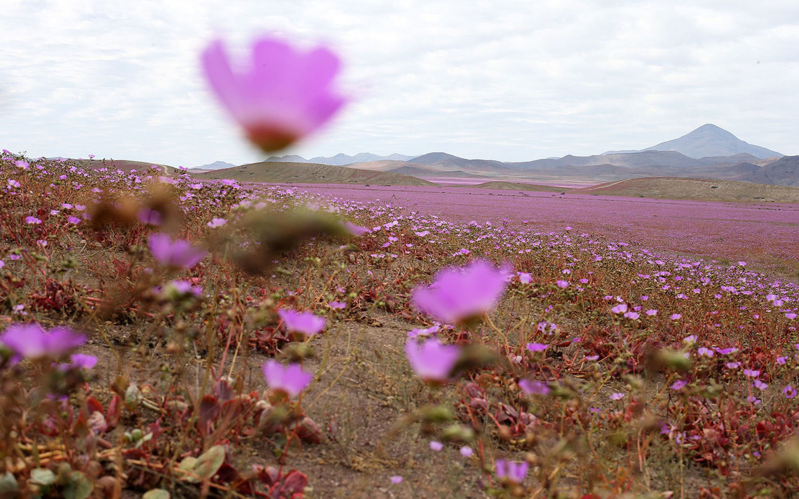 Atamacama Desert Bursts Into Bloom After Unusual Rainfall   Travel       Chile atacama desert flowers