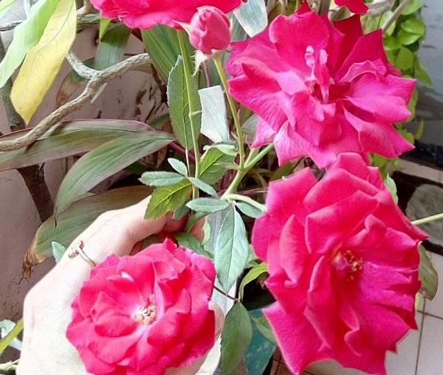 Pink Desi Roses