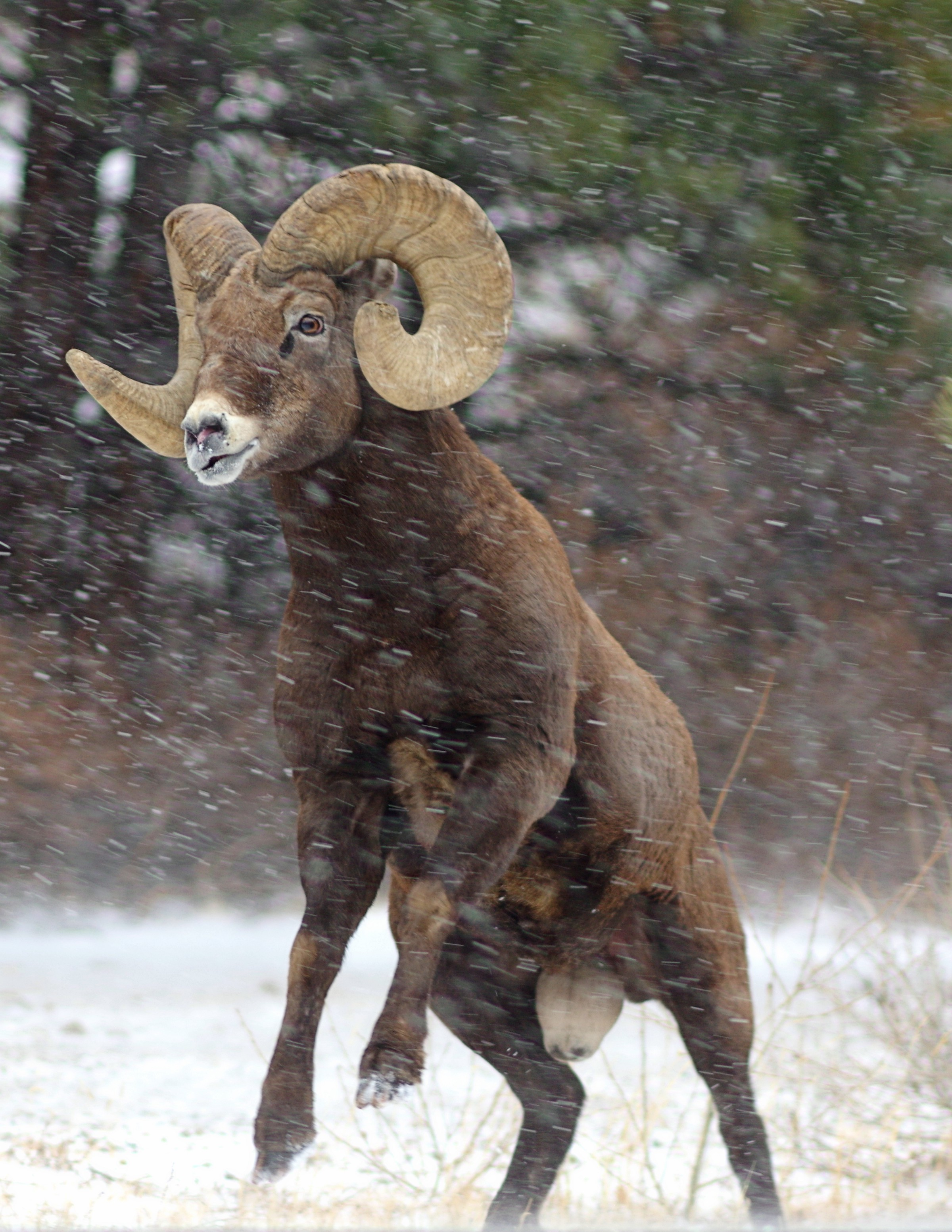 Up Close Look At Battling Bighorn Sheep Updates From The