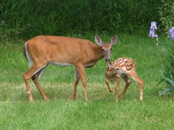 deer resistant perennial flowers are backbone plants against these cute creatures