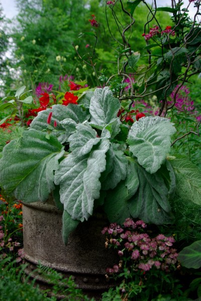 Salvia argentea in a container with annuals and sweet peas