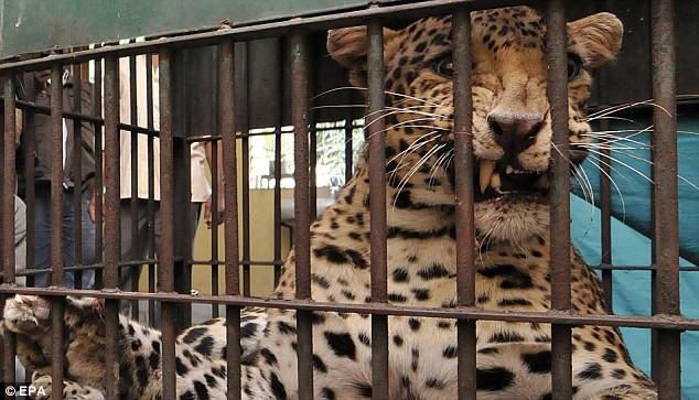A leopard chews at the bars holding it captive