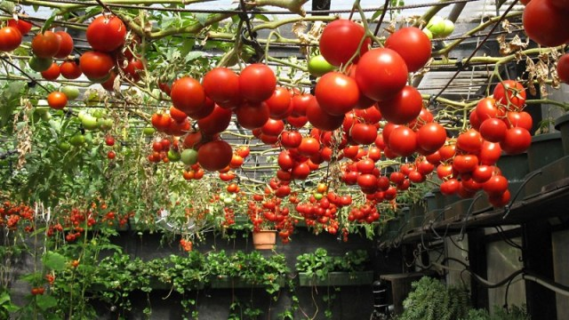 Tomatoes are the best foods for home growers.