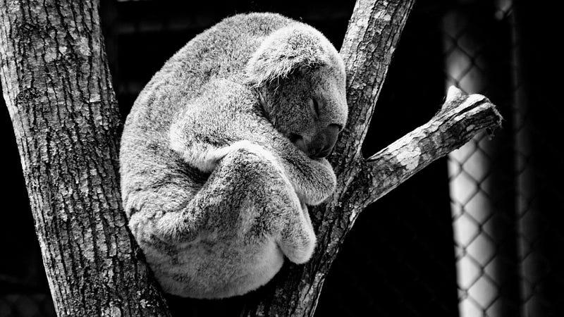 Sonno koala