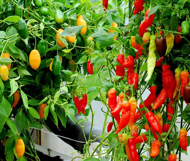hot peppers are the best food for gardeners who want spice on demand.