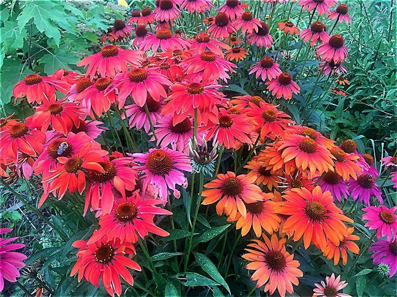 Echinacea 'Cheyenne Mix'