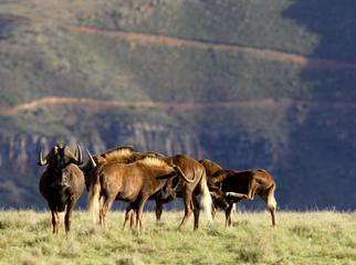 South Africa's Safari Secrets - black wildebeest
