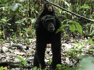 5 African Adventures to Have Before You Die chimps 1