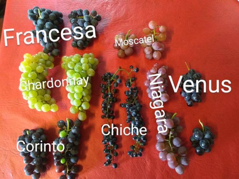 vino - Uvas