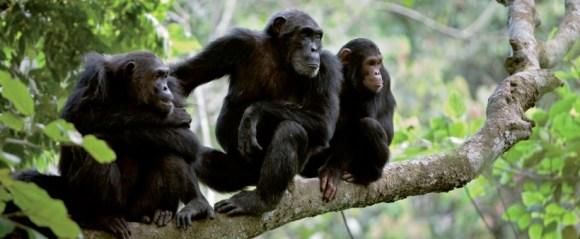 grandes-primatas-o-declinio-alarmante-da-especie