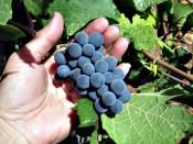 uvas-ajudam-saúde-coração-veganismo-frugivorismo-vegetarianismo