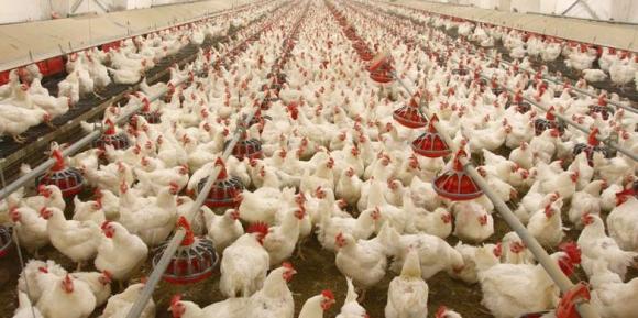 dida-industria-ovos-consumo-carne-direitos-animais