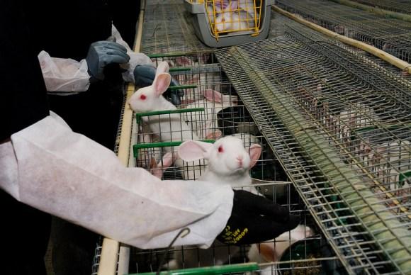 Ativistas-italianos-libertam-12-coelhos-da-indústria-da-carne-camaleão