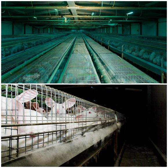 Ativistas-italianos-libertam-12-coelhos-da-indústria-da-carne