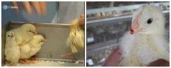 debicagem-pintinhos-ovos-galinhas-felizes-free-range-cage-range-happy-chicken-nuggets-eggs-ovos-orgânicos