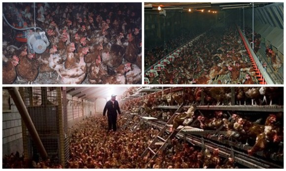 propaganda-enganosa-publicidade-ovos-galinhas-felizes-soltas-consumo-free-range-cage-range-veganismo-especismo