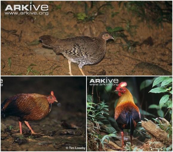 galinhas-soltas-gallus-gallus-female-femea-galinha-selvagem