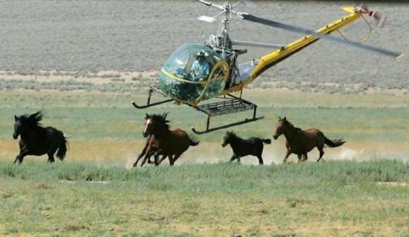 cavalos-selvagens-sao-capturados-e-mortos-pelo-governo-americano-Bureau-of-Land-Management