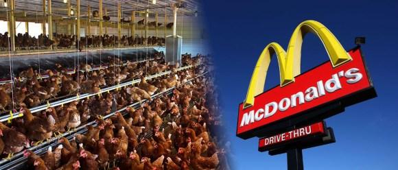 cage-free-mcdonalds-usara-apenas-ovos-cage-free-nos-estados-unidos-galinhas-soltas-ovos-free-range-direitos-animais-veganismo-especismo