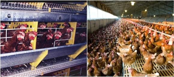 mcdonalds-usara-apenas-ovos-cage-free-nos-estados-unidos-galinhas-soltas-ovos-free-range-direitos-animais-veganismo-abolicionista